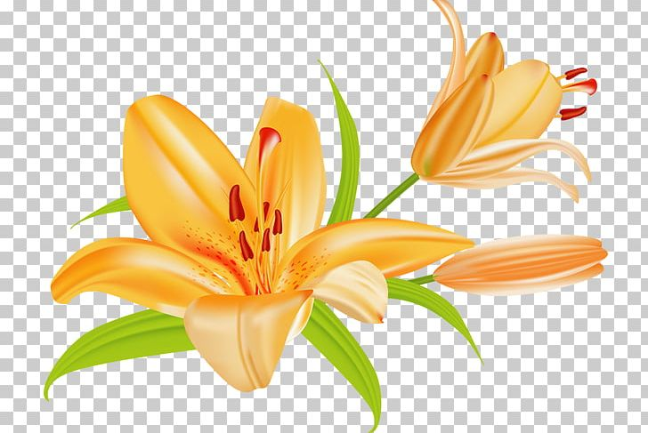 Tiger Lily Lilium Bulbiferum Easter Lily PNG, Clipart.