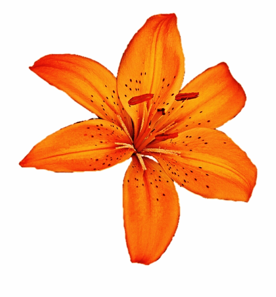 Tiger Lily Download Free Clipart With A Transparent.