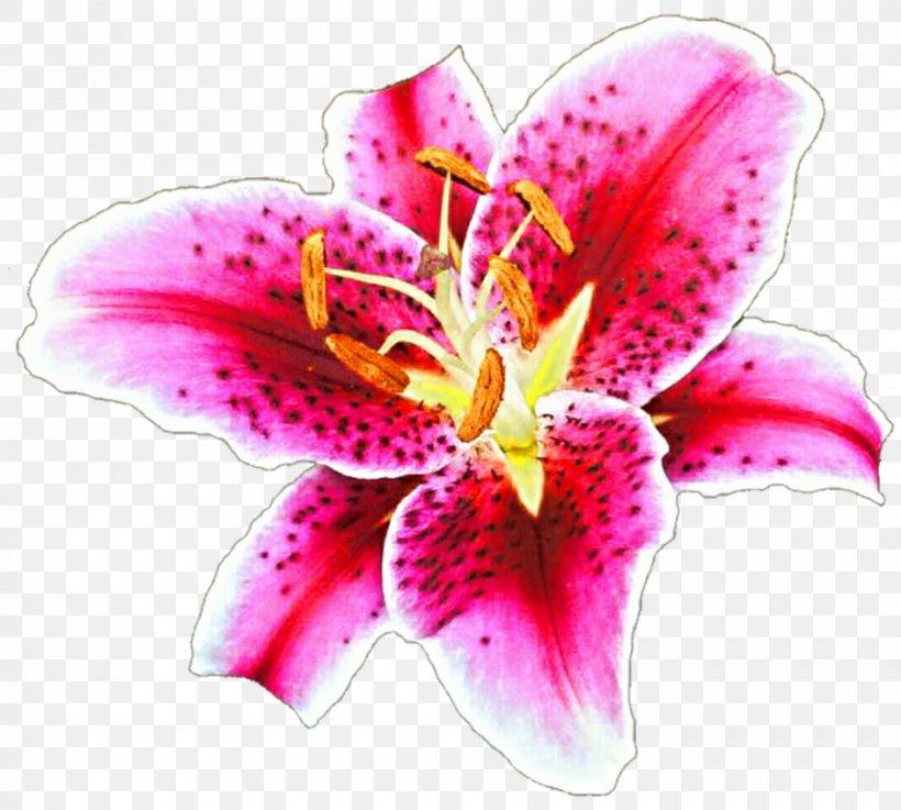 Tiger Lily Lilium \'Stargazer\' Drawing Desktop Wallpaper Clip.
