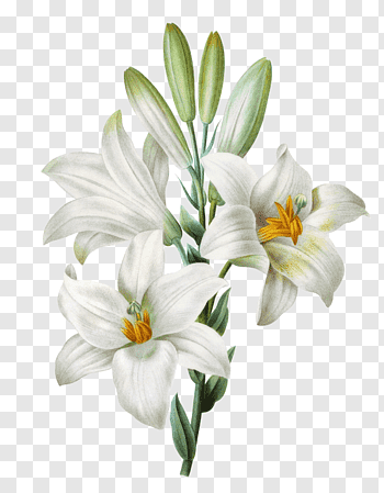 Tiger Lily cutout PNG & clipart images.