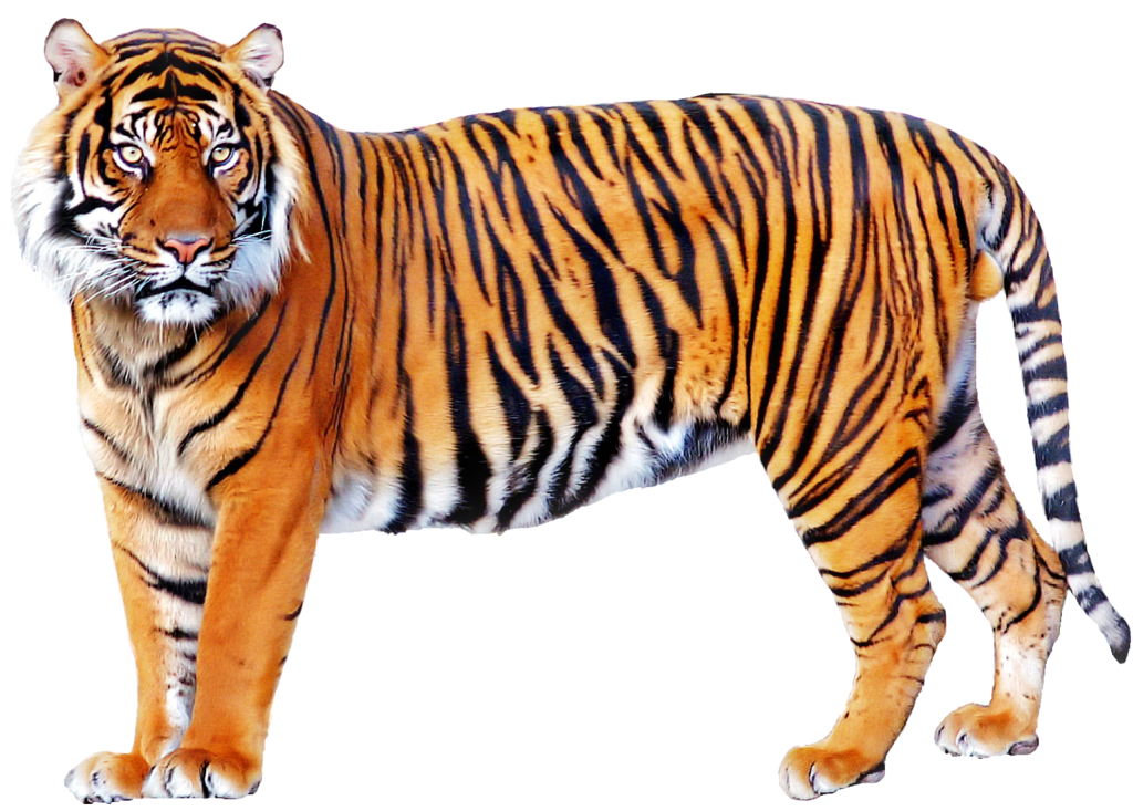 Tiger PNG Images Transparent Free Download.