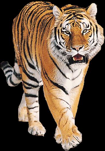 HQ Tiger PNG Transparent Tiger.PNG Images..