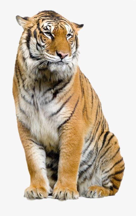 Tiger PNG, Clipart, Animal, Tiger, Tiger Clipart, Tiger.