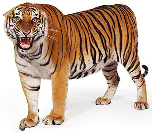 Download Free png Siberian Tiger PNG File.