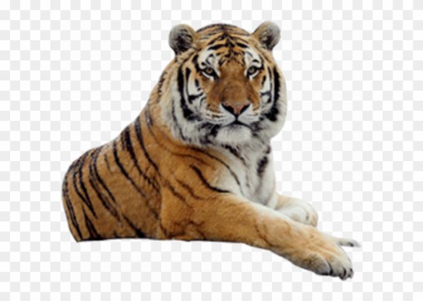 Sitting Tiger Png Image Background.