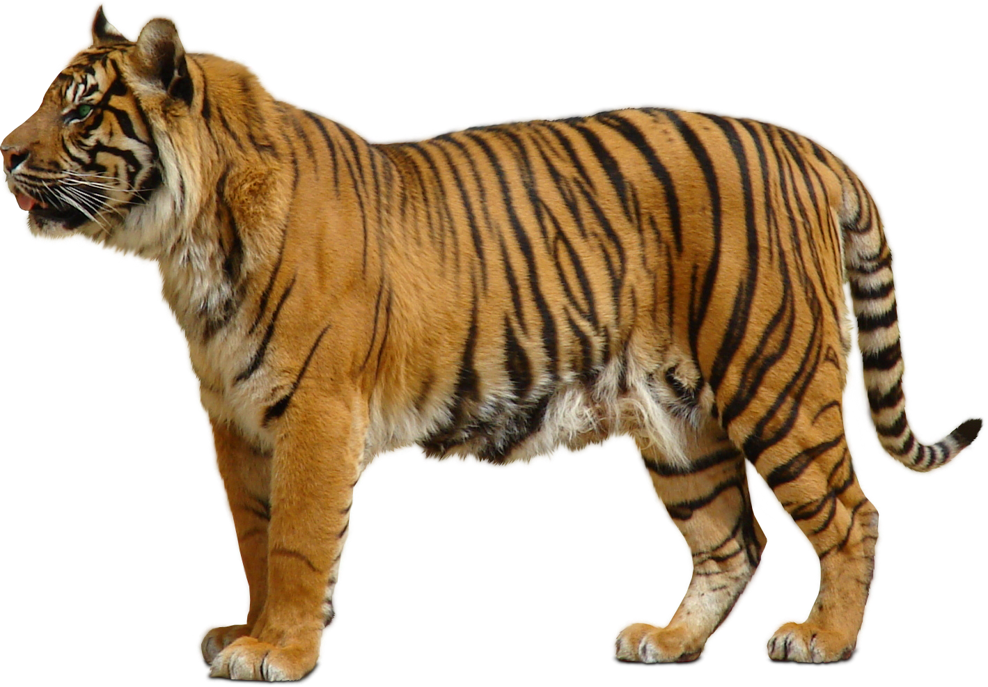 PNG Sector: Tiger PNG for Photoshop.