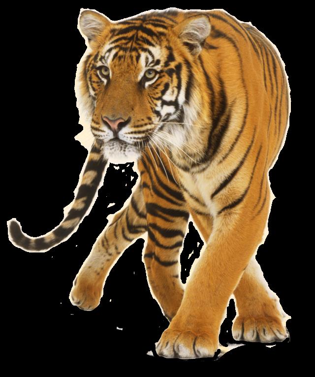 Tiger Cat.