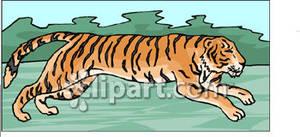 Running Tiger.