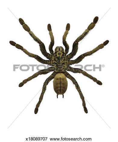 Picture of Chinese Earth Tiger Tarantula Spider x18089707.