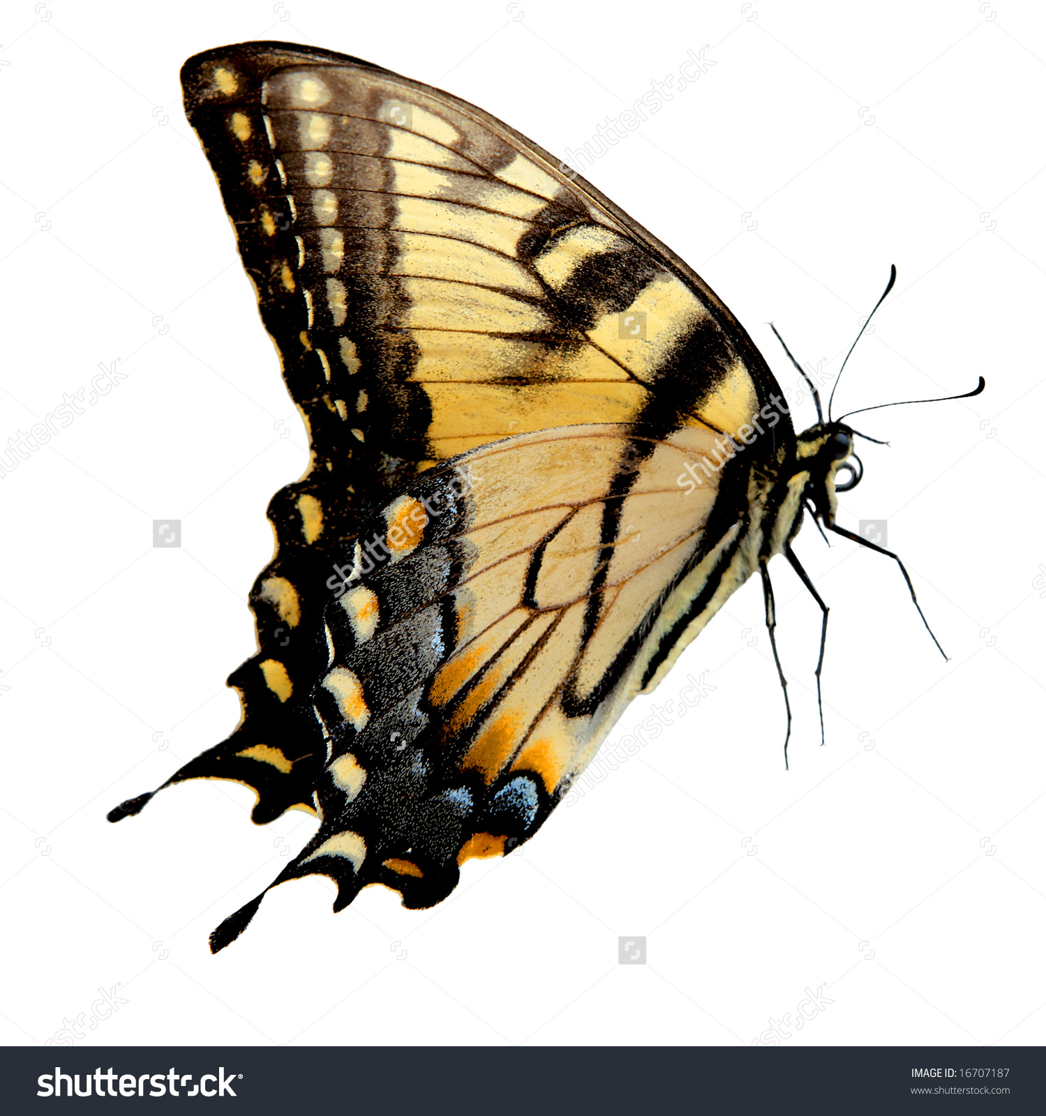 Eastern Tiger Swallowtail Butterfly Isolated On Stock Photo.