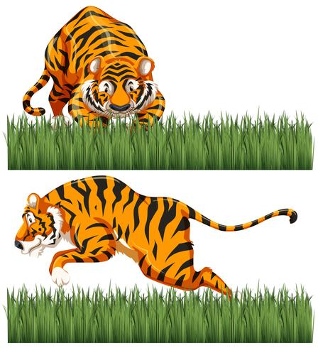 Two scenes of wild tiger.