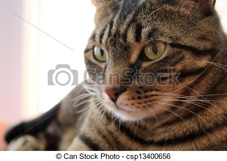 Stock Images of Gorgeous face of tiger cat.