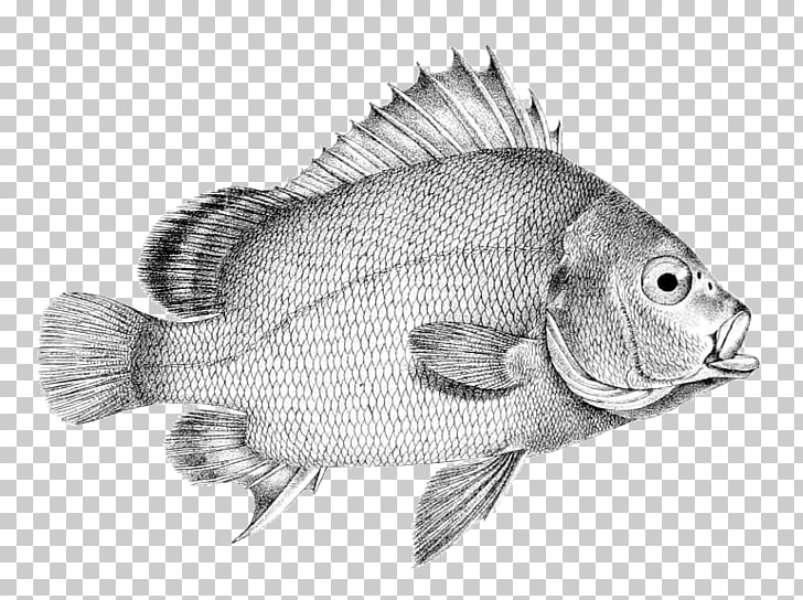 Tilapia Drawing Perch /m/02csf Fish, fish PNG clipart.