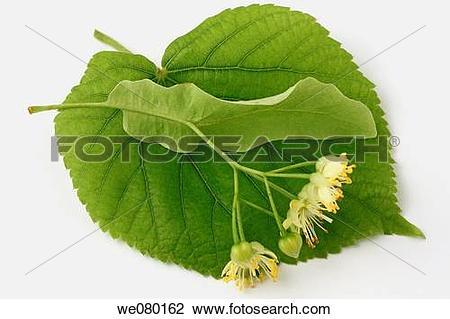 Stock Photo of Lime tree (Tilia platiphyllos or Tilia cordata.