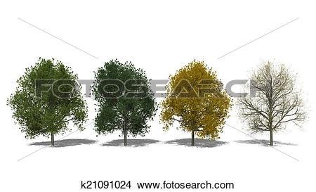 Drawings of Tilia cordata (Four Seasons) k21091024.