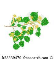 Tilia cordata Clipart and Illustration. 7 tilia cordata clip art.