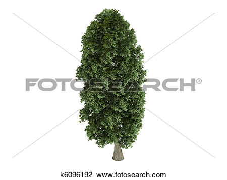 Clip Art of Linden or Tilia platyphyllos k6096192.