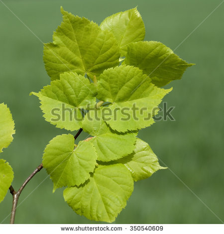 Tilia Platyphyllos Stock Photos, Royalty.