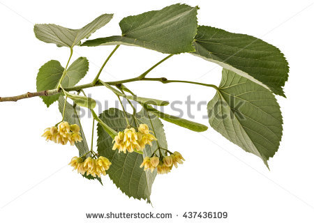 """tilia Platyphyllos"" Stock Photos, Royalty."