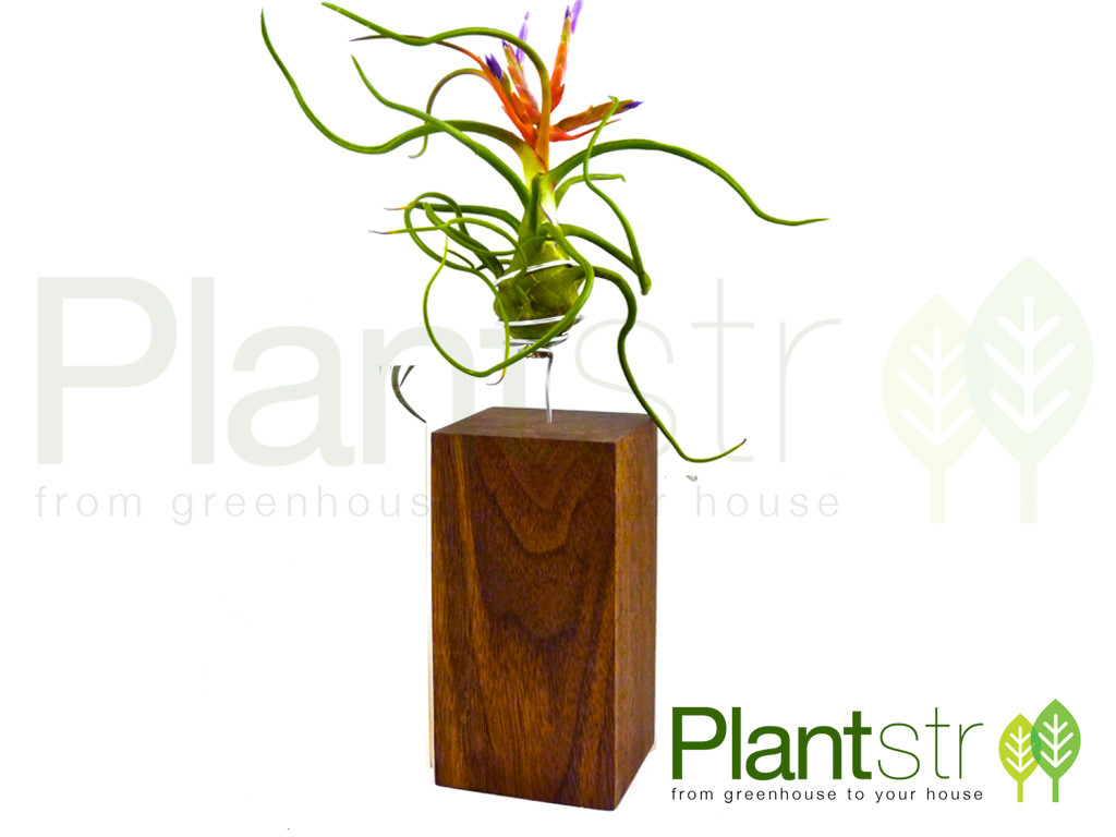 Grande Exotic and Domestic hardwood air plant stands.