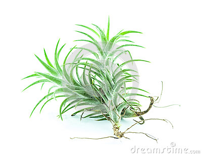 Tillandsia Air Plant Isolated On White Royalty Free Stock.