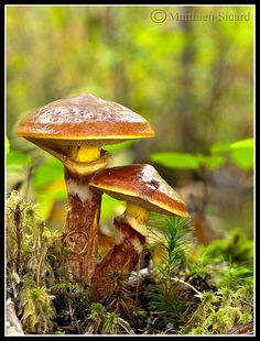 1000+ images about Mushroom Madness on Pinterest.