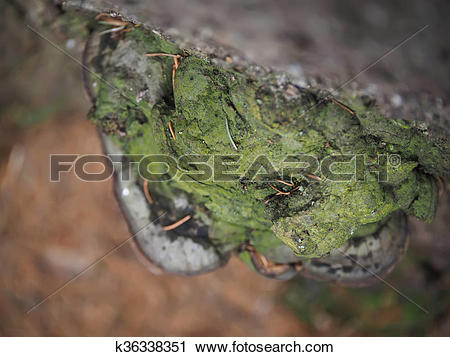 Stock Photography of tinder fungus on a tree in the forest.