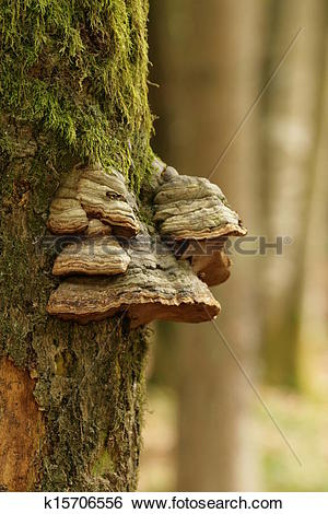 Stock Images of tinder fungus k15706556.