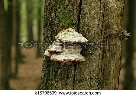 Stock Photograph of tinder fungus k15706509.