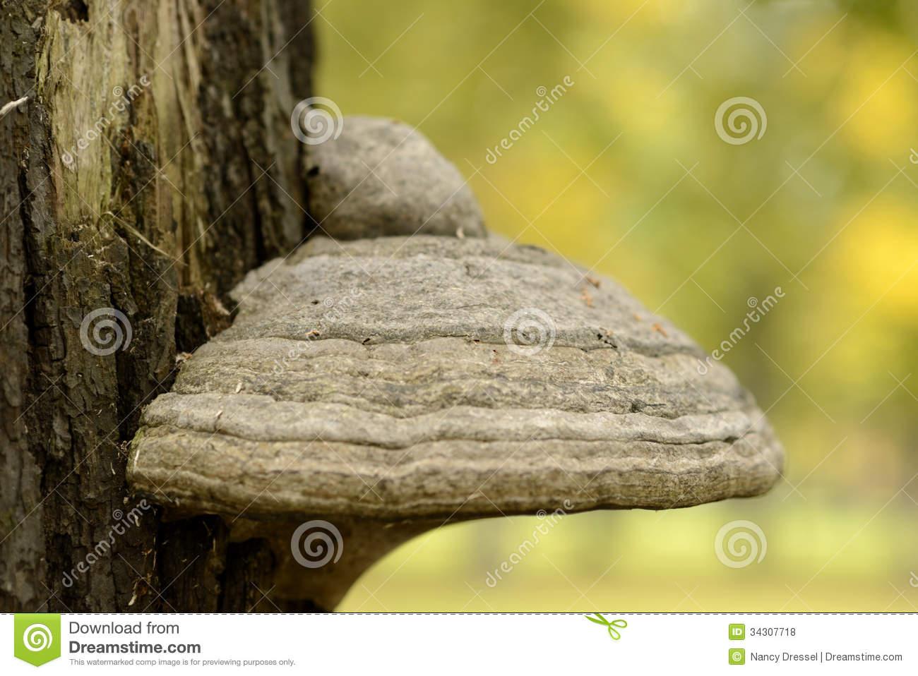 Mushroom Tinder Fungus On Old Tree Royalty Free Stock Photos.