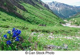 Stock de imagenes de alpes, Alemán, primavera, Gentiana, genciana.