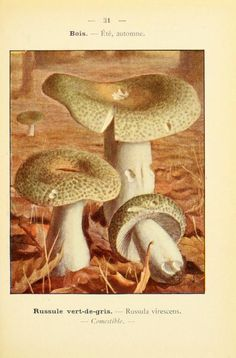 Russula lepida Fr. Mary Banning, The Fungi of Maryland, 19th.