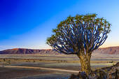 Stock Photography of Quiver tree or kokerboom (Aloe dichotoma) in.