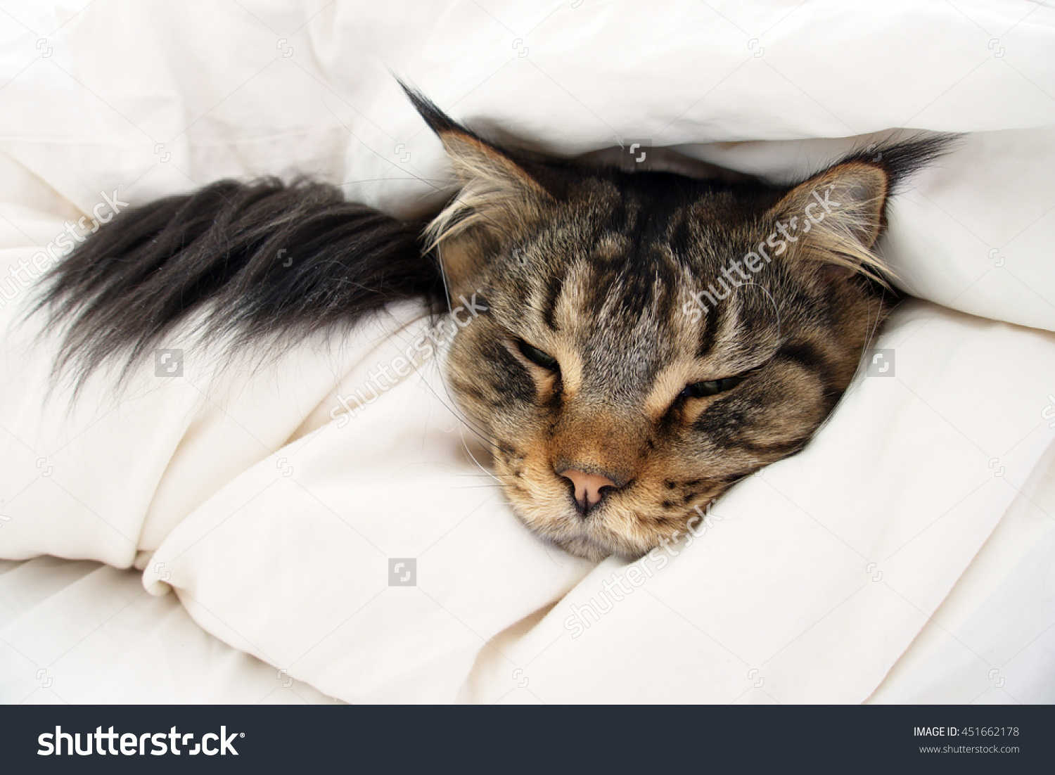 Brown Tabby Maine Coon Cat Who Stock Photo 451662178.