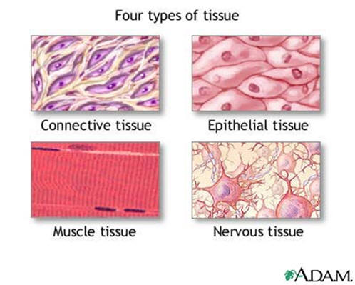 Muscles clipart epithelial tissue, Muscles epithelial tissue.