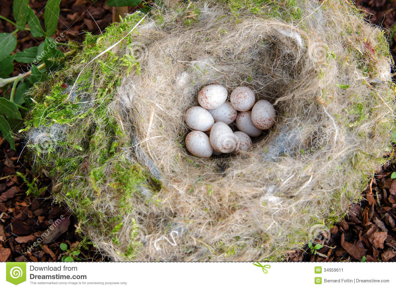 Blue Tit Nest With Eggs Royalty Free Stock Photos.