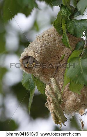 Stock Photograph of Eurasian Penduline Tit (Remiz pendulinus.