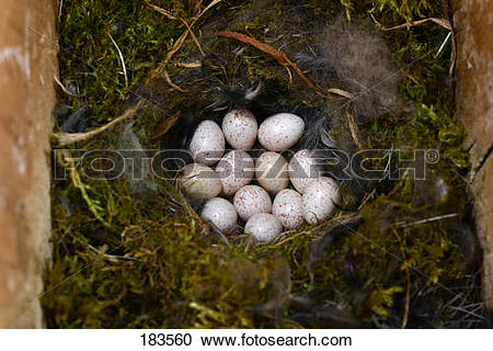 Stock Photography of Blue Tit (Parus caeruleus). Clutch in a.