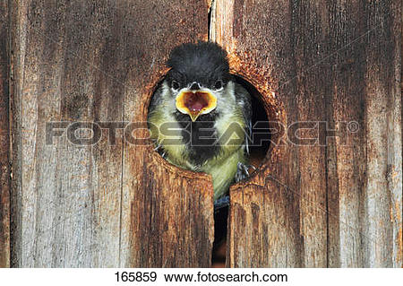 Stock Photograph of young Great Tit in nest box / Parus major.