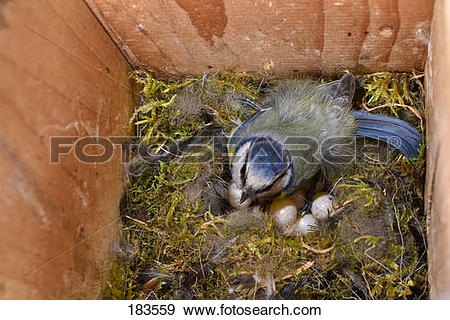 Stock Photograph of Blue Tit (Parus caeruleus) in a nesting box.