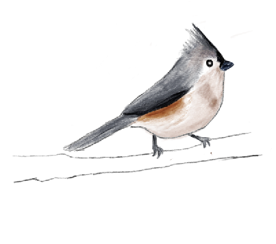 TUFTED TITMOUSE.