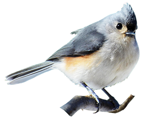 Titmouse Bird Clip Art.