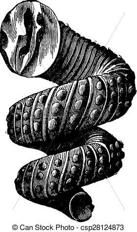 Vectors Illustration of Cephalopod ammonites of the Cretaceous.