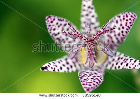"toad Lily"" Stock Photos, Royalty."