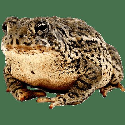 Toad transparent PNG.