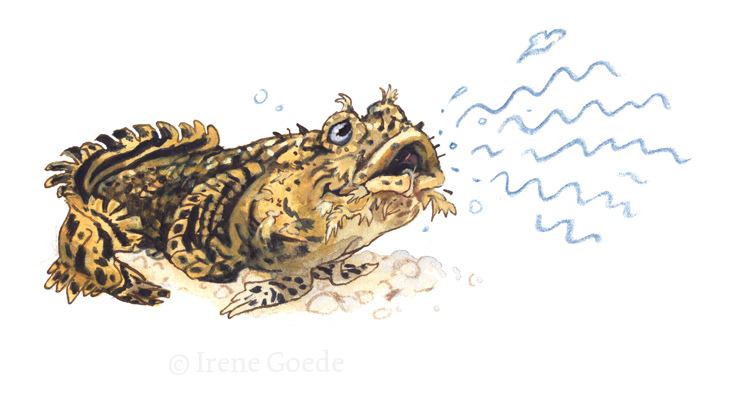 Oyster Toadfish.
