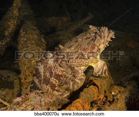 Stock Images of An oyster toadfish sitting inside the USS Indra.