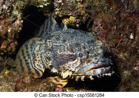 Pictures of Oyster Toadfish.