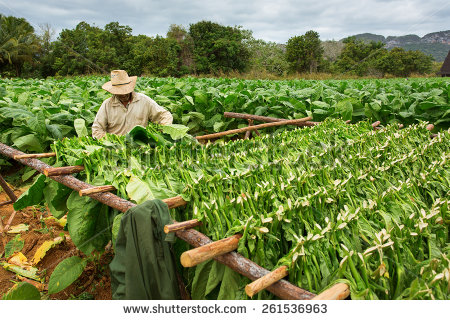 Tobacco Farmers Collect Tobacco Leaves Stock Photo 261536963.
