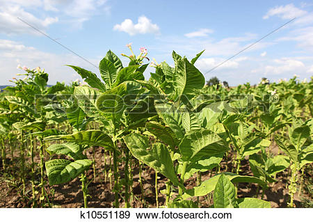 Stock Photograph of Tobacco farm k10551189.